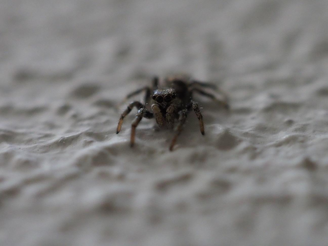Het zebra-spinnetje (eigen foto)