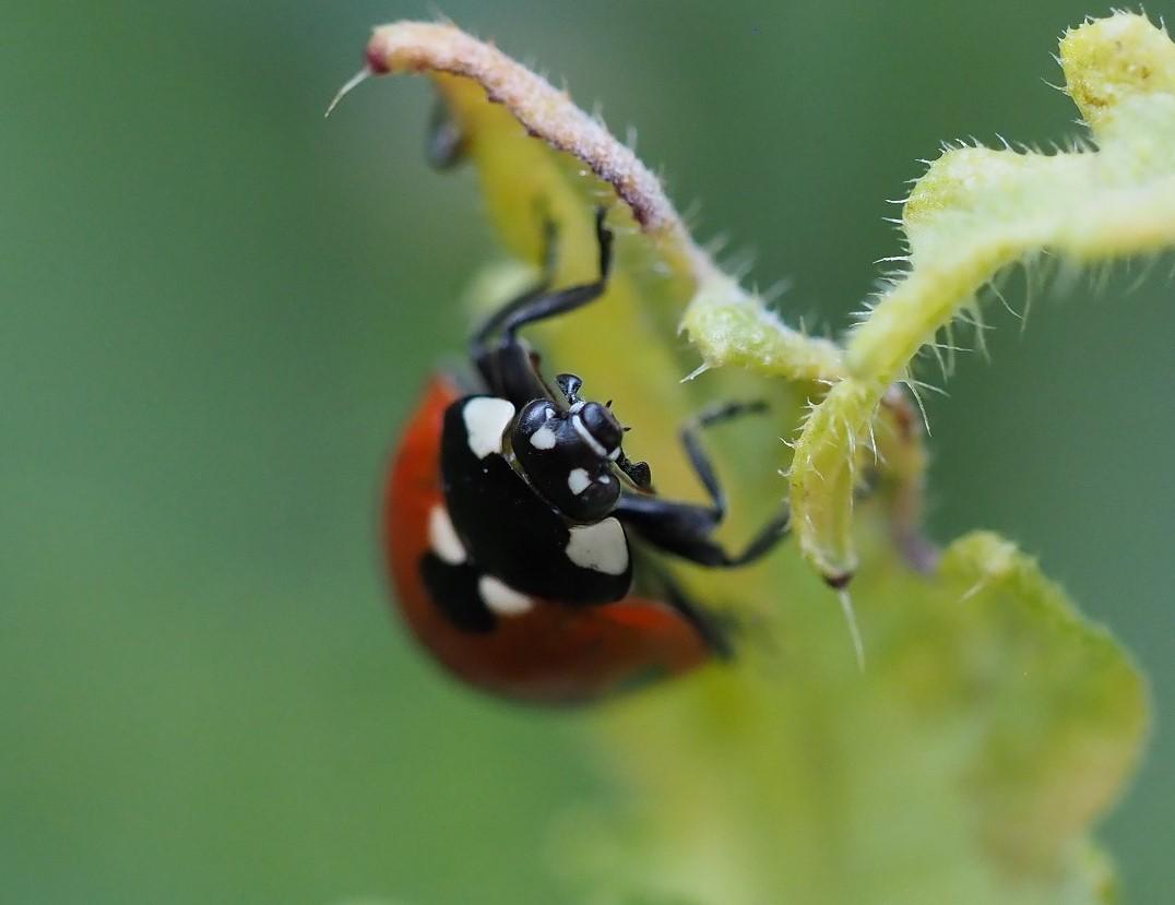Een lieveheersbeestje kan uitstekend ondersteboven aan een blad hangen! (eigen foto)