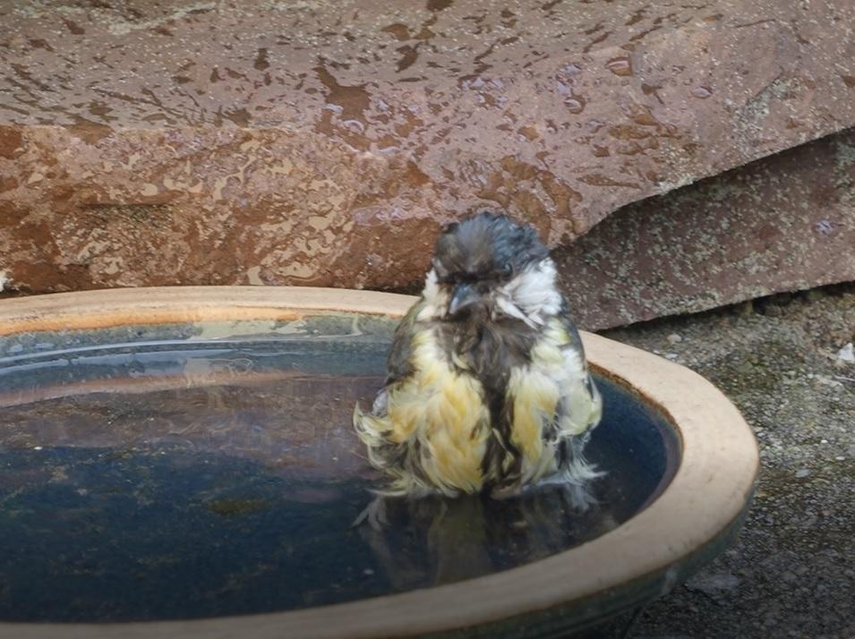 Koolmees neemt een bad in een volgelopen schotel (eigen foto)