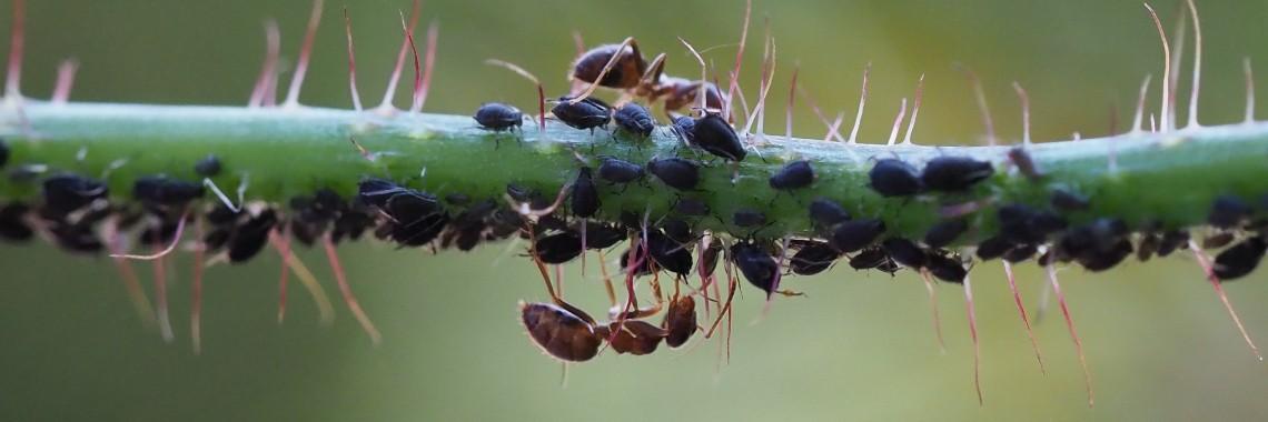 Mieren die bezig zijn bladluizen te melken (eigen foto)