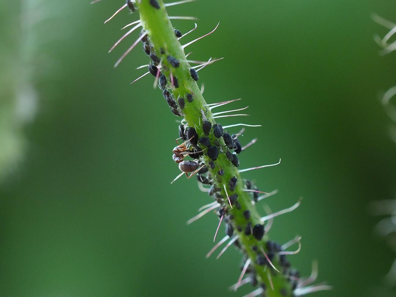 Een mier tussen de bladluizen (eigen foto)