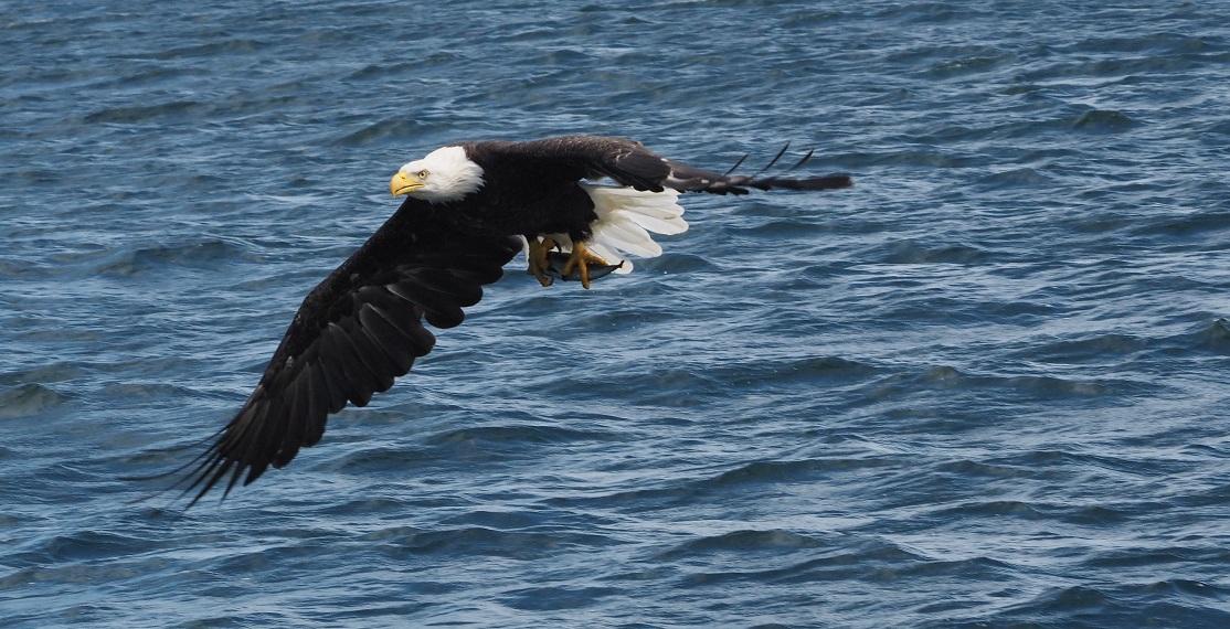 Op naar het nest, om de vis op te peuzelen. (eigen foto)