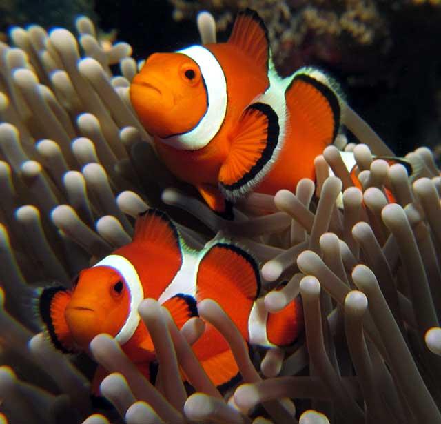 Clown vissen verscholen in het koraal