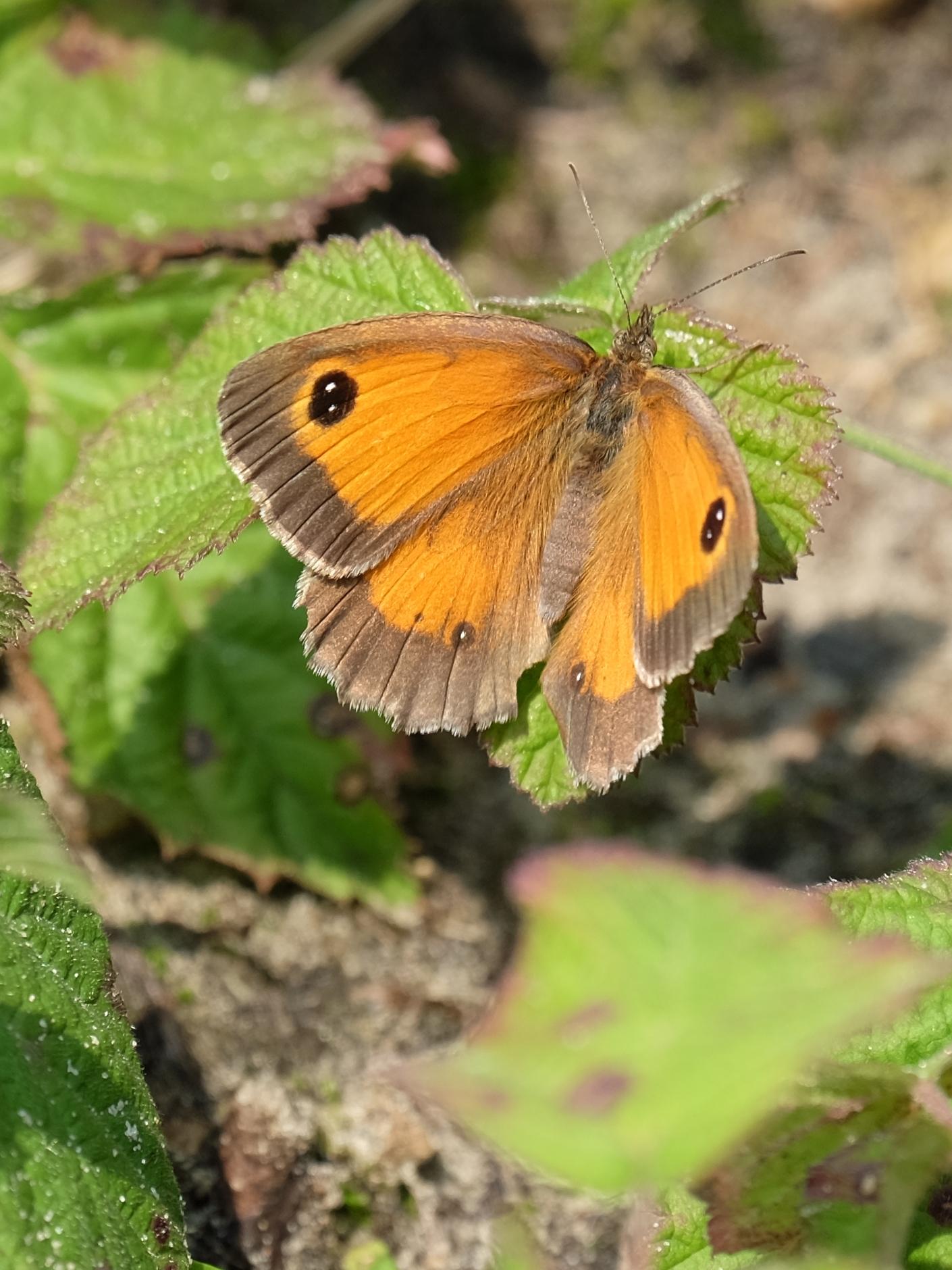 Het Oranje Zandoogje - Elles van den Broek