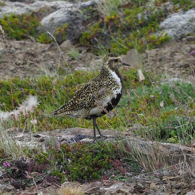 Een Loa (Goudplevier), een van mijn favoriete IJslandse vogels (eigen foto)